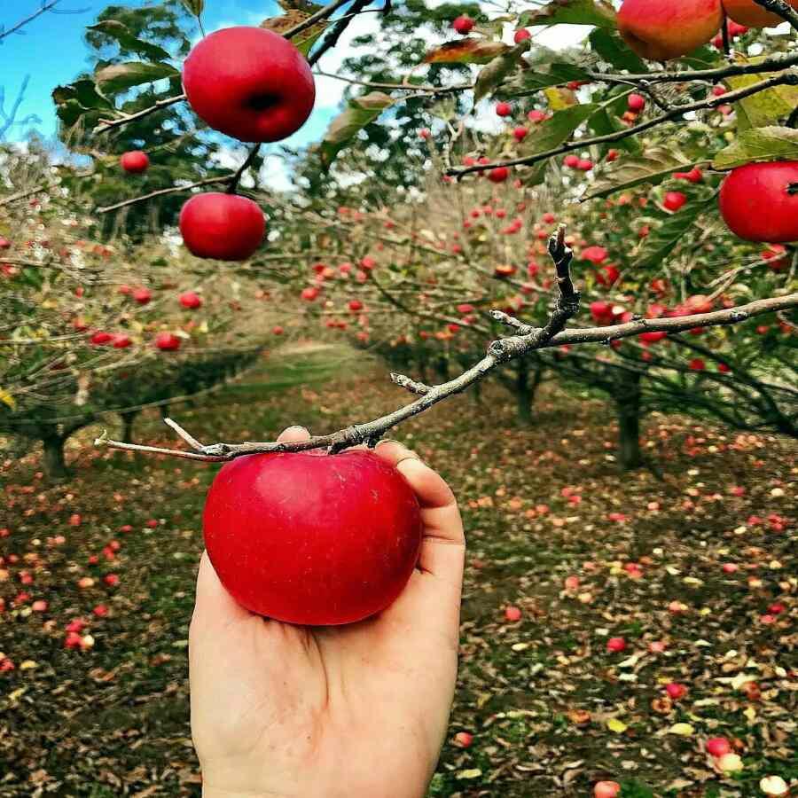 دانلود پاورپوینت مراحل مختلف تولید و پرورش سیب درختی