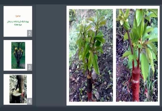 دانلود پاورپوینت پیوند اسکنه ای یا شاخه در درختان میوه معتدله