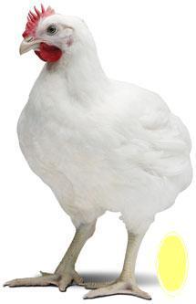 طرح توجیهی پرورش مرغ گوشتی  به ظرفیت 20000 قطعه