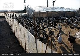 2فايل آموزشي پرورش  غاز  و اردك