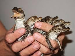 اطلاعات لازم  جهت پرورش تمساح  شامل 4 فايل