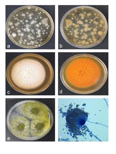 تعيين آلودگي قارچي در غذاي دستساز و كارخانهاي قزلآلاي رنگين كمان