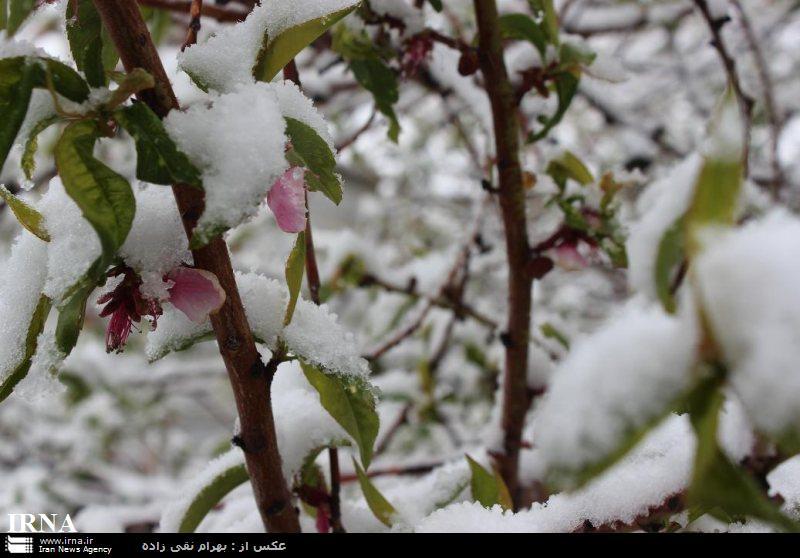 مقابله با سرمازدگی باغات سرمای زمستانه و بهاره
