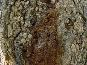 بیماری باکتریایی چوب مرطوب