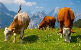 دانلود مقاله  عوامل تغذیه ای موثر درتولید مثل گاوشیری (پاورپوینت )