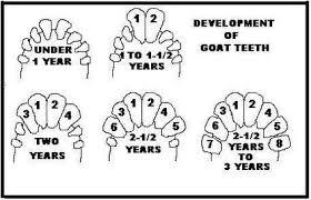 دانلود مقاله تعیین سن در گاو (پاورپوینت)