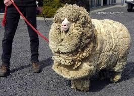 دانلود سمینار پوست گوسفند وکاربرد های آن (پاورپوینت)
