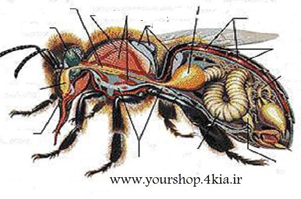 دانلود مقاله بیولوژی (آناتومی و تشریح)زنبورعسل در قالب پاورپوینت