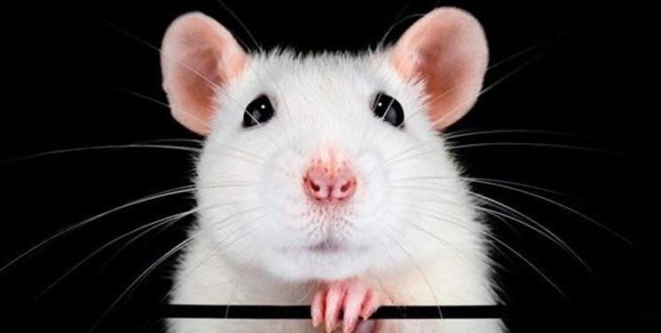 پاورپوینت راه های مبارزه با موش