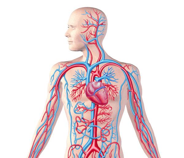 تحقیق در مورد دستگاه گردش خون انسان