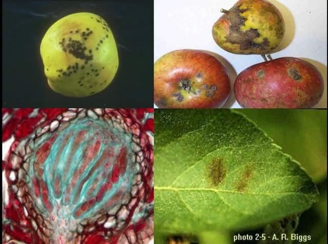 پاورپوینت بررسی بیماریهای مهم درختان میوه