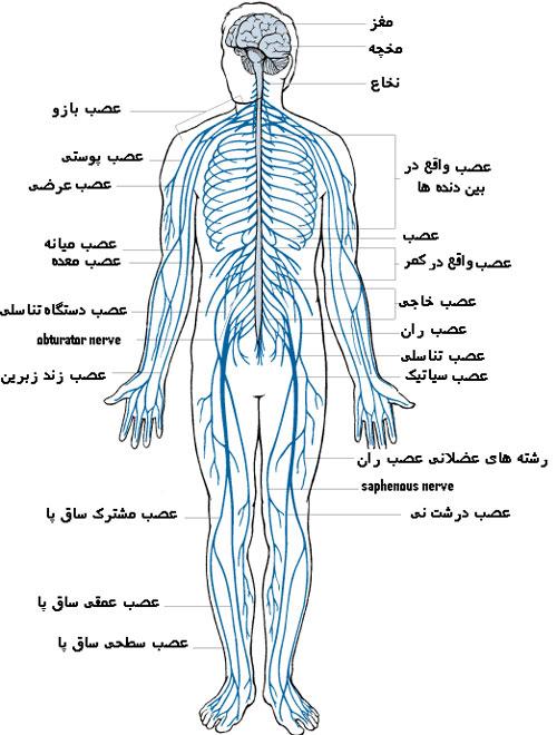 پاورپوینت کامل و جامع با عنوان دستگاه عصبی بدن در 148 اسلاید