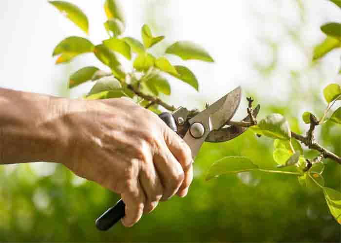 پاورپوینت کامل و جامع با عنوان روش های هرس و تربیت درختان و گیاهان در 49 اسلاید