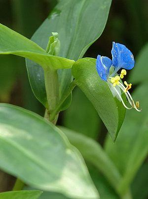 پاورپوینت کامل و جامع با عنوان دسته بندی گیاهان در زیررده کملینیده در 48 اسلاید