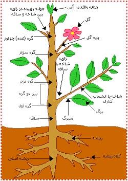 پاورپوینت کامل و جامع با عنوان مورفولوژی ریشه، ساقه و برگ در گیاهان در 58 اسلاید