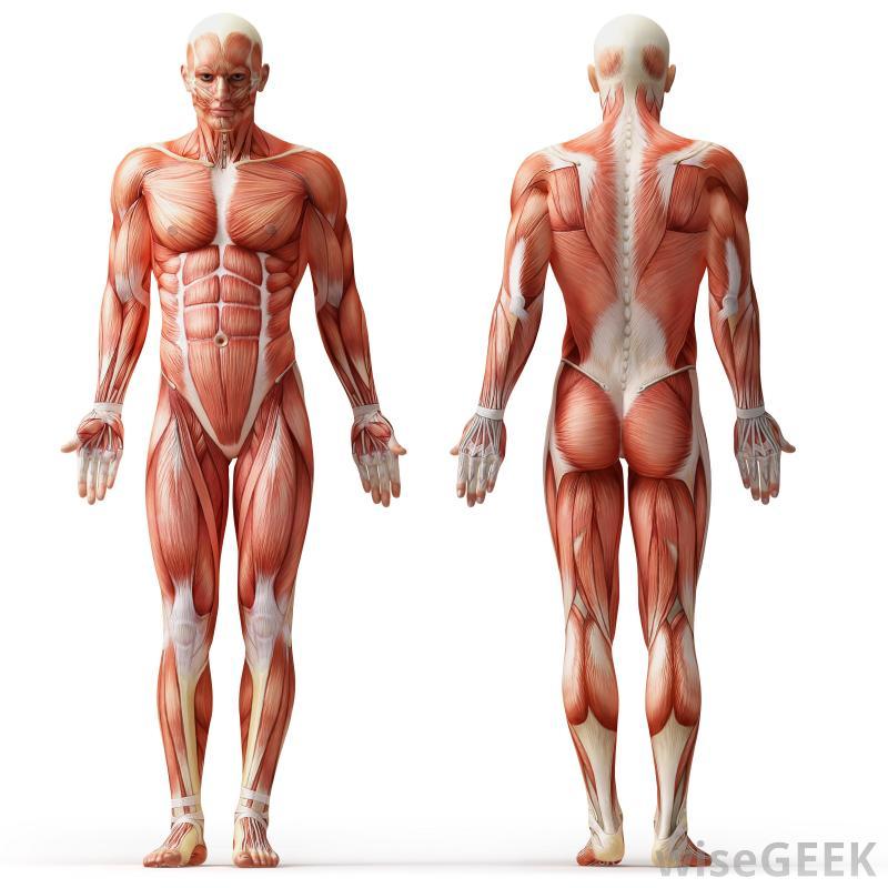 پاورپوینت کامل و جامع با عنوان سیستم عضلانی بدن انسان در 151 اسلاید