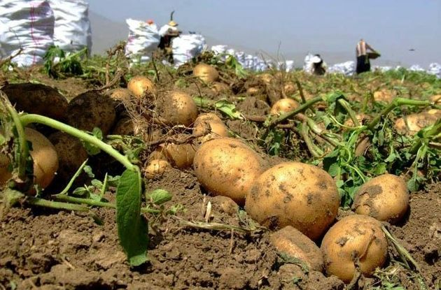 پاورپوینت کامل و جامع با عنوان کشت سیب زمینی در 70 اسلاید