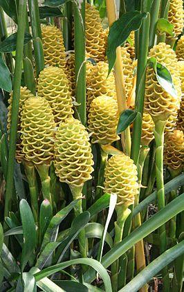 پاورپوینت کامل و جامع با عنوان دسته بندی گیاهان در زیررده زینگیبریده در 28 اسلاید