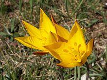 پاورپوینت کامل و جامع با عنوان دسته بندی گیاهان در زیررده لیلیئیده در 54 اسلاید