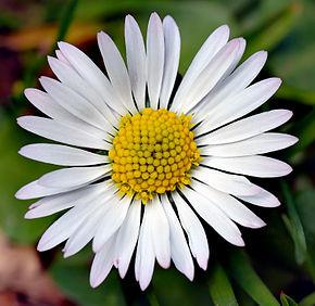 پاورپوینت کامل و جامع با عنوان دسته بندی گیاهان در زیررده آستریده در 72 اسلاید