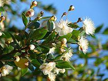 پاورپوینت کامل و جامع با عنوان بررسی گیاه مورد در 20 اسلاید