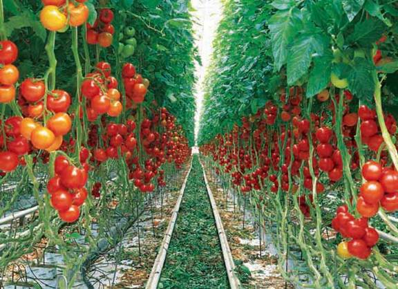 کاشت ، داشت و برداشت گوجه فرنگی گلخانه ایی