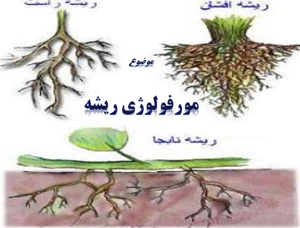 دانلود پاورپوینت مورفولوژی ریشه