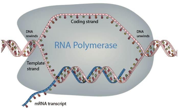 دانلود پاورپوینت RNA  و رونویسی