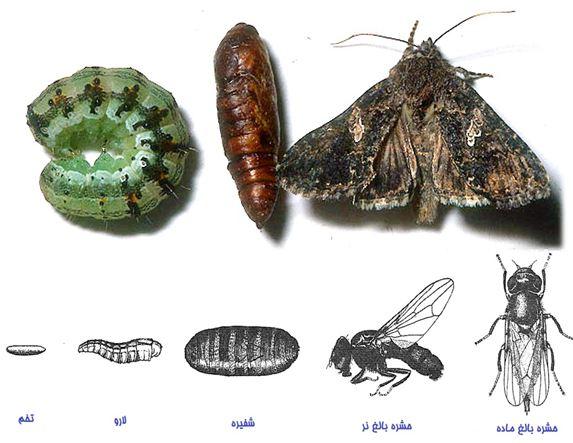 دانلود پاورپوینت دگردیسی در حشرات بر مبنای فیزیولوژی