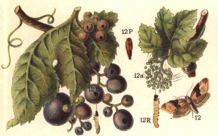 دانلود پاورپوینت کرم خوشه خوار انگور(Lobesia botrana)