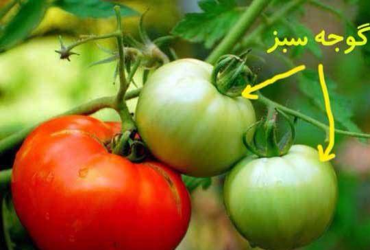 کلیات گیاه شناسی(گوجه سبز)