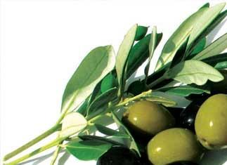 کلیات گیاه شناسی(زیتون)