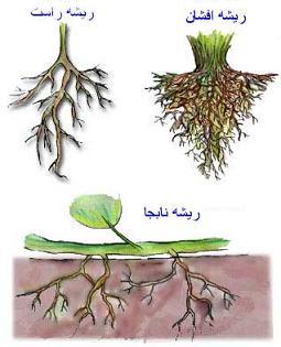 مقاله درباره  نقش عناصر غذايي در مورفولوژي ريشه