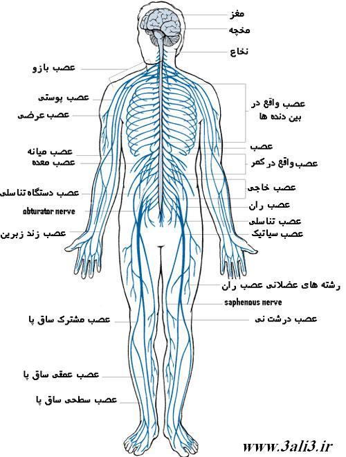 پاورپوینت درس چهارم علوم پایه هشتم دستگاه عصبی