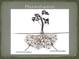 Phytoremediation  یا  گیاه پالایی  راهکاری مناسب جهت کاهش آلودگی محیط زیست
