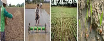 تفکر  ناب در فرایندهای کاشت، داشت و برداشت  برنج
