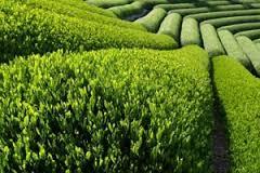 تحقیق روشهاي مختلف تكثير چای
