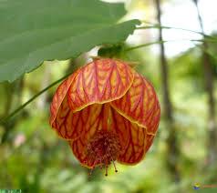 بررسی گیاه شناسی، خواص دارویی، دگرآسیبی، اکوکنترول عصاره علف های هرز  گاوپنبه، علف خونی و شلمبیک