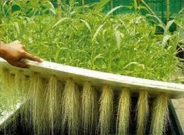 کشت هیدروپونیک گیاهان دارویی
