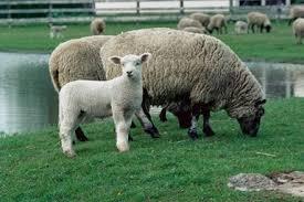 گوسفند نژاد ماکوئی