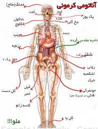 دانلود  پاورپوینت آناتومی بدن انسان در 139 اسلاید کاربردی  و آموزشی و کاملا قابل ویرایش