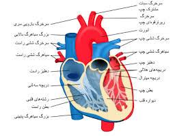 دانلود پاورپوینت آناتومی و فیزیولوژی دستگاه گردش خون  در 60 اسلاید کاربردی و کاملا قابل ویرایش
