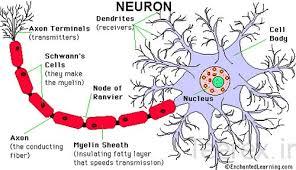دانلودپاورپوینت   Nervous System Development    توسعه و رشد سيستم عصبي در 67  اسلاید