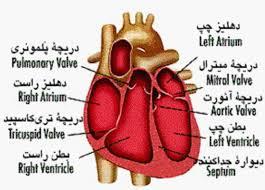 دانلود پاورپوینت  فيزيولوژي قلب و دستگاه گردش خون در 37 اسلاید