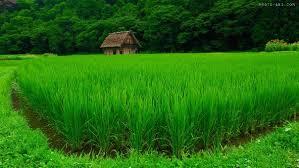 گزارش نهایی برنج کاری
