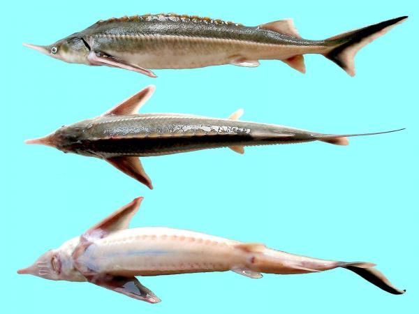 مروری بر برخی پارامترهای بیو شیمیایی خون ماهی