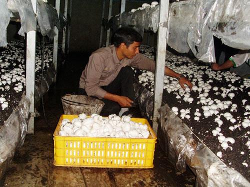 طرح تولیدی پرورش قارچ