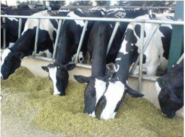 دانلود جزوه مدیریت تغذیه گاو های شیری