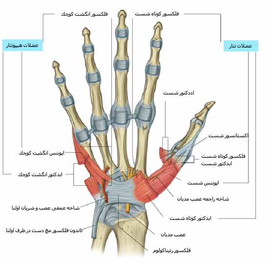 دانلود جزوه آناتومی دست انسان - مقاله به صورت پاورپوینت pptx