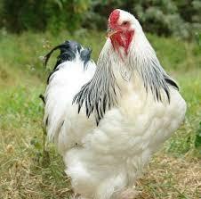 دانلود فایل معرفی انواع نژاد مرغ و رشد مرغ به زبان لاتین